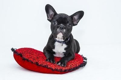 En liten bulldog vilar pa hjärtformad kudde