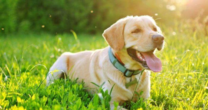 Hund, sommarsol och mygg