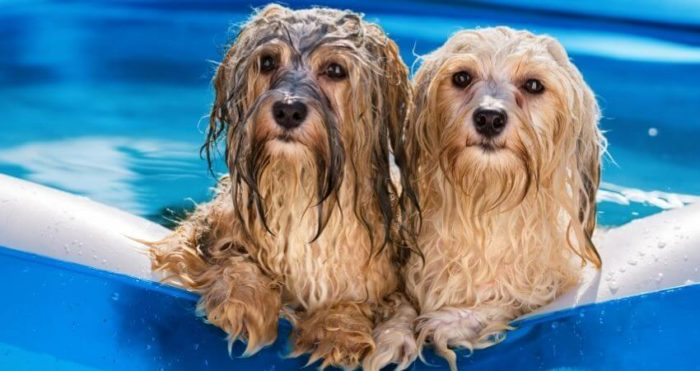 Små söta å blöta hundar i liten pool